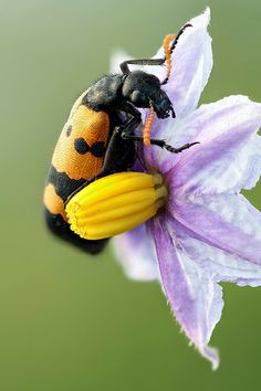 Toxic duo--This hairy Mylabris beetle (14mm) is, like all blister beetles (Meloidae), toxic and often seen on the flowers of the Poison apple (Solanum incanum)
