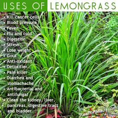 5 Amazing Benefits of Lemongrass Essential Oil Uses of Lemon Grass; one benefit can be weight loss! for weight loss surgery information and general nutritional and health tips! I LOVE this stuff! Healing Herbs, Natural Healing, Natural Oils, Healing Oils, Healing Power, Holistic Healing, Young Living Oils, Young Living Essential Oils, Doterra Essential Oils