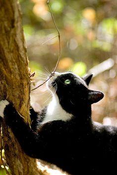 .tuxedo kitty.