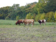 Rinder im Sauerland