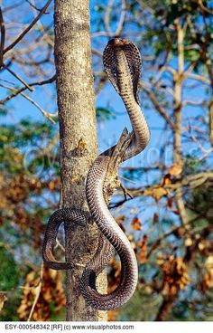 Cobra in a tree. Whole new level of nightmare. Like flying spiders. - Cobra in a tree. Whole new level of nightmare. Like flying spiders…. Cobra in a tree. Whole new level of nightmare. Like flying spiders…. Pretty Snakes, Beautiful Snakes, Animals Beautiful, Les Reptiles, Reptiles And Amphibians, Mammals, Black Mamba Snake, Snake Facts, Snake Photos