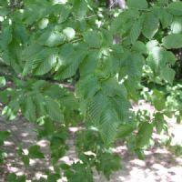 Achat Carpinus Betulus - Charmille - Plante 100-120 cm en Racine nue  http://www.plantes-et-arbres.com/carpinus-betulus---charmille---plante-100-120-cm-en-racine-nue-1463-p.asp