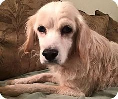 SPECIAL NEEDS! Blind & deaf--Homer - Retriever mix - Male - approx 9 -11 yrs. Coastal pet Rescue - Savannah, GA. - http://coastalpetrescue.org/adopt/view/2015-d-219-homer/ - https://www.facebook.com/CoastalPetRescue/ - http://www.adoptapet.com/pet/13542025-savannah-georgia-retriever-unknown-type-mix
