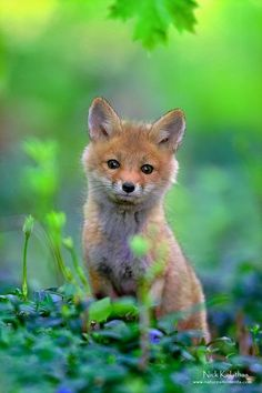 Red Fox Pup in Spring Green