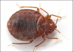 Does Bleach Kill Bed Bugs? more info at http://katelynalainstudio.com/does-bleach-kill-bed-bugs/