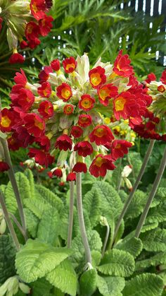 "Shade garden flowers, Primula veris ""Red Shades""..."