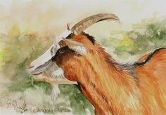 Goat ~ Watercolor painting by Angela Franke
