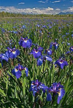 picture of Eklutna Flats Wild Iris Flowers Alaska USA Did you know Iris plants grow wild here in Alaska?