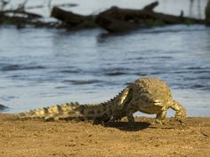 #krugerpark #wilderness #crocodile