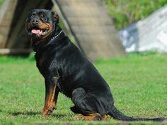 Conheça a Raça Rottweiler
