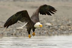 Matt Shetzer     ...Wild Bird  ·    Every year while up in Alaska hosting workshops, I always have one eagle fly so close to me I can feel the wind off of its wings.  It is my favorite experience to be so close to such beautiful creatures.  Visit my website www.shetzers.com   Feel free to share