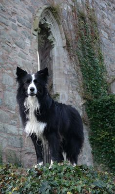 Scary looking Gothic Border Collie Halloween Picture of Asha at the ruins of Greyabbey Abbey County Down