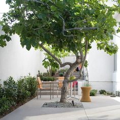 Marvellous Contemporary Patio Contemporary Cat Trees A Fig Tree Edible FigsThere Are Many Varieties Love To Have A Tree In The Courtyard Hardscape Design, Patio Trees, Backyard Patio, Pot Jardin, Contemporary Patio, Fig Tree, Terrace Garden, Small Trees, Small Gardens