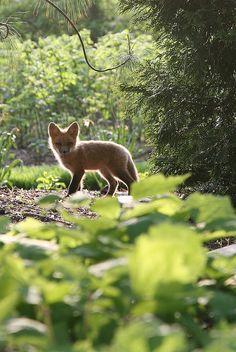 My favorite neighbor: a fox cub in the English Woodland Garden, by Missouri Botanical Garden, via Flickr