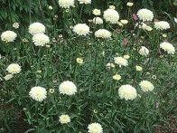 if i planted a daisy