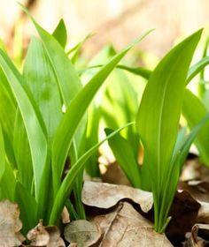 Medvědí česnek je typická jarní bylinka, kterou si můžeme začerstva užívat jen asi měsíc v roce. Plants, Plant, Planets