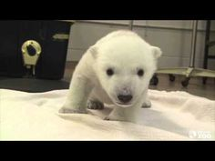 This unnamed polar bear cub lives at the Toronto Zoo and he's about 3 months old. He's also learning to walk!   Stop Whatever It Is You're Doing And Watch This Polar Bear Cub Take His First Steps