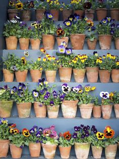 Pots of pansies. The purple pansey in the middle is frowning.