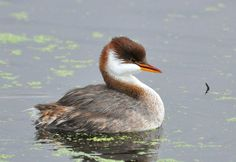 Grebes are pretty adorable, but this species may take the cake for cuteness. The Titicaca flightless grebe or short-winged grebe is found in Peru and Bolivia, living primarily on (you guessed it) Lake Titicaca, but also in several surrounding lakes. Though it can't fly, it can swim like a champ and catches mainly small pupfish as prey.