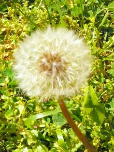 Dandelion Wishes.  #naturephotography #dandelion #backyard #seeds #garden