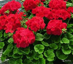 GGG Rare Geranium Seeds, 10 kinds 100 Mix Colors Flower Seeds, High survival Rate for Home and Garden. Types Of Flowers, Red Flowers, Beautiful Flowers, Front Yard Garden Design, Lawn And Garden, Garden Plants, House Plants, Cheap Plants, Geranium Flower