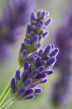 "Lavendel ""Hidcote Blue"" by Tina & Horst Herzig Photography Lavendel / Lavender: Lavandula ""Hidcote Blue""Into the Blue Into the Blue may refer to: Lavender Cottage, Lavender Blue, Lavender Fields, Lavender Flowers, Purple Flowers, Beautiful Flowers, Lavander, Growing Lavender, Daisies"