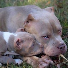 Those sweet babies, but, damn, those poor ears :( Amstaff Terrier, Pitbull Terrier, Terrier Mix, Baby Animals, Funny Animals, Cute Animals, Blueline Pitbull, Beautiful Dogs, Animals Beautiful