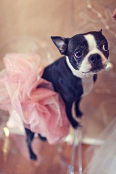 Boston Terrier with a TuTu. Too cute cute. When I finally get my girl Boston, I WILL get her a tutu. Boston Terriers, Boston Terrier Love, Terrier Puppies, Pitbull Terrier, Cute Puppies, Cute Dogs, Dogs And Puppies, Doggies, Funny Dogs