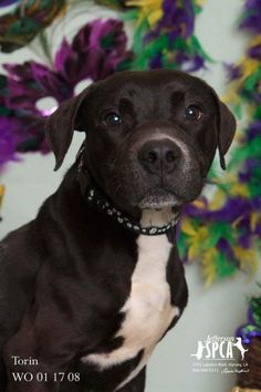 ●8•23•17 SL● ■LOUISIANA■ SUPER URGENT Adopt Torin, American Staffordshire Bull Terrier, adult male, lovely photo on link, location Harvey LA- TO BE DESTROYED!!!