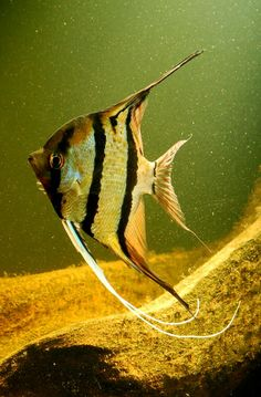 "Pterophyllum scalare sp. ""Rio Nanay"": Angelfish (Peruvian wild spotted angels)"