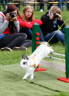 rabbit jumping--quite possibly the cutest animal competition ever created