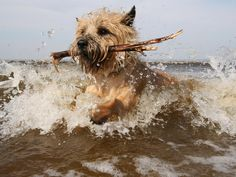 Cairn terrier having fun in water