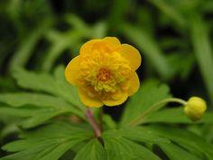 Anemone ranunculoides 'Plena' - mao lương trạng ngân liên hoa Anemone Hepatica, Ranunculus, Wood Anemone, Winter Temperature, Nye, Perennials, Woodland, Planters, Bulbs