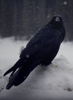 """""""Quoth the Raven, Nevermore. The Crow, Beautiful Birds, Animals Beautiful, Cute Animals, Choucas Des Tours, Quoth The Raven, Raven Bird, Yennefer Of Vengerberg, Jackdaw"""