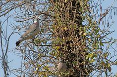 Colombaccio - (Columba palumbus, Linnaeus 1758) - in my waehouse February 2012 - Nikon D300 -Nikon 200-400 mm f/4 - iso 640 - Forte dei Marmi #guidofrilli