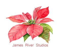 Poinsettia Fine Art Print created from our Original Watercolor Painting. Perfect Holiday Decor or Gift!  Available in 5x7, 8x10, 11x14, & 13x19