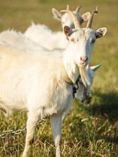 14 Best Kiko Goats Images Kiko Goats Goats Goat Farming