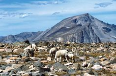 Mountain goats are plentiful on Froze-To-Death Plateau, and aren't shy about raiding the camps of hikers who fail to batten down their gear before setting off to explore the high country of the Absaroka-Beartooth Wilderness.
