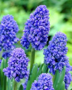 Grape Hyacinth 'Blue Spike' Muscari armeniacum