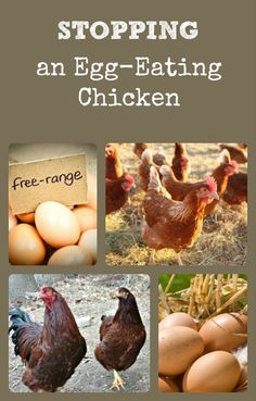 Describes how chickens can start the bad habit of eating their eggs, how to break them of the habit, and practices to prevent them from starting to begin with.