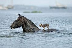 Fancy - Horse saves dog from drowning - or was the dog in charge of the steering?!