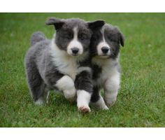 Dsysge Blue & White BORDER COLLIE puppies for sale   Blue, White ...