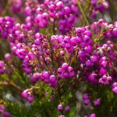 Like a heavily laden vine, Erica multumbellifera produces bunches of grape-like flowers Vines, Flora, Mountain, Plants, Instagram, Plant, Arbors, Grape Vines, Planets