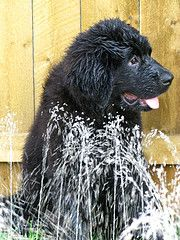 Newfies love water