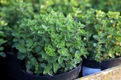 10 Herbs That Regrow10