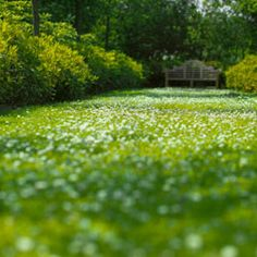 clover lawn! Much easier to keep green than grass