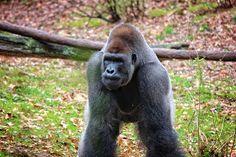 Angel Sharum Photography: 365 Photos a Year: Day 76: Gorillas