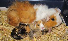 Hamile Guinea Pig Hakkında Tüm Detaylar - Guinea Pig Üremesi