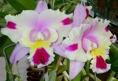 BLC Chyong guu Chaffinch x BLC Hawaiian Wedding Song Virgin #1 - Muda T4 - Empório das Orquídeas