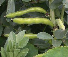 Growing broadbeans